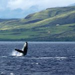 Whale watching in Maui, Hawaiian archipelago