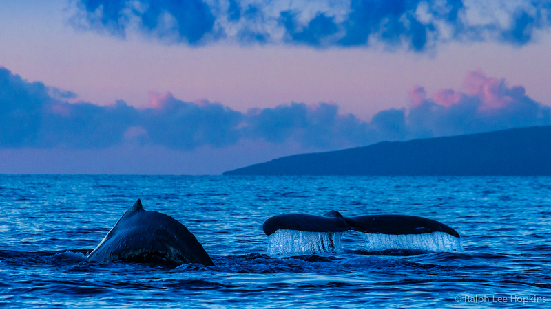 Whale-watching-in-Maui