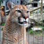Cougar Mountain Zoo (Washington, USA)