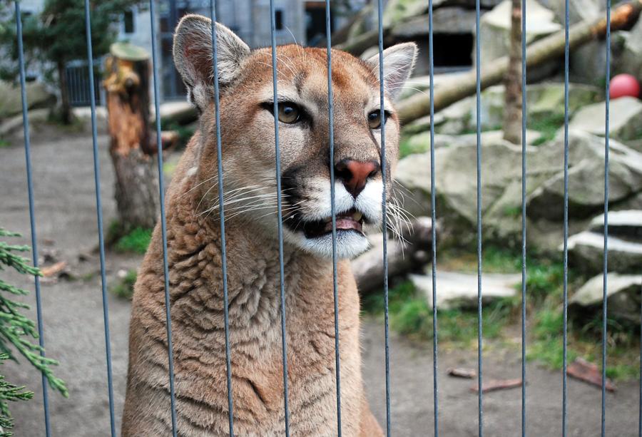 Cougar Mountain Zoo (Washington, USA)